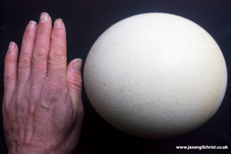 Ostrich egg with a hand beside it to give an idea of scale
