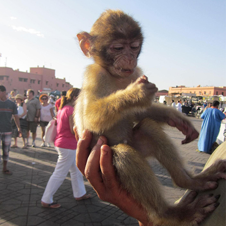 Close-up of barbary macaque being held against a backdrop of tourists milling about