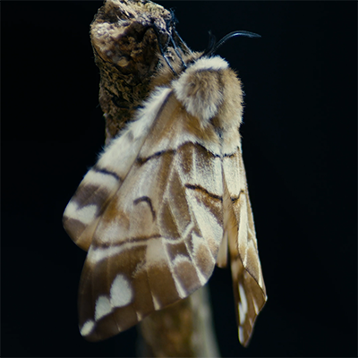 Image of moth close up from RSPB Photo