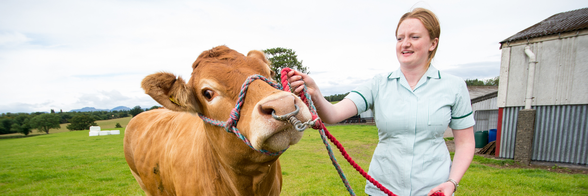Image of veterinary nursing image with a cow